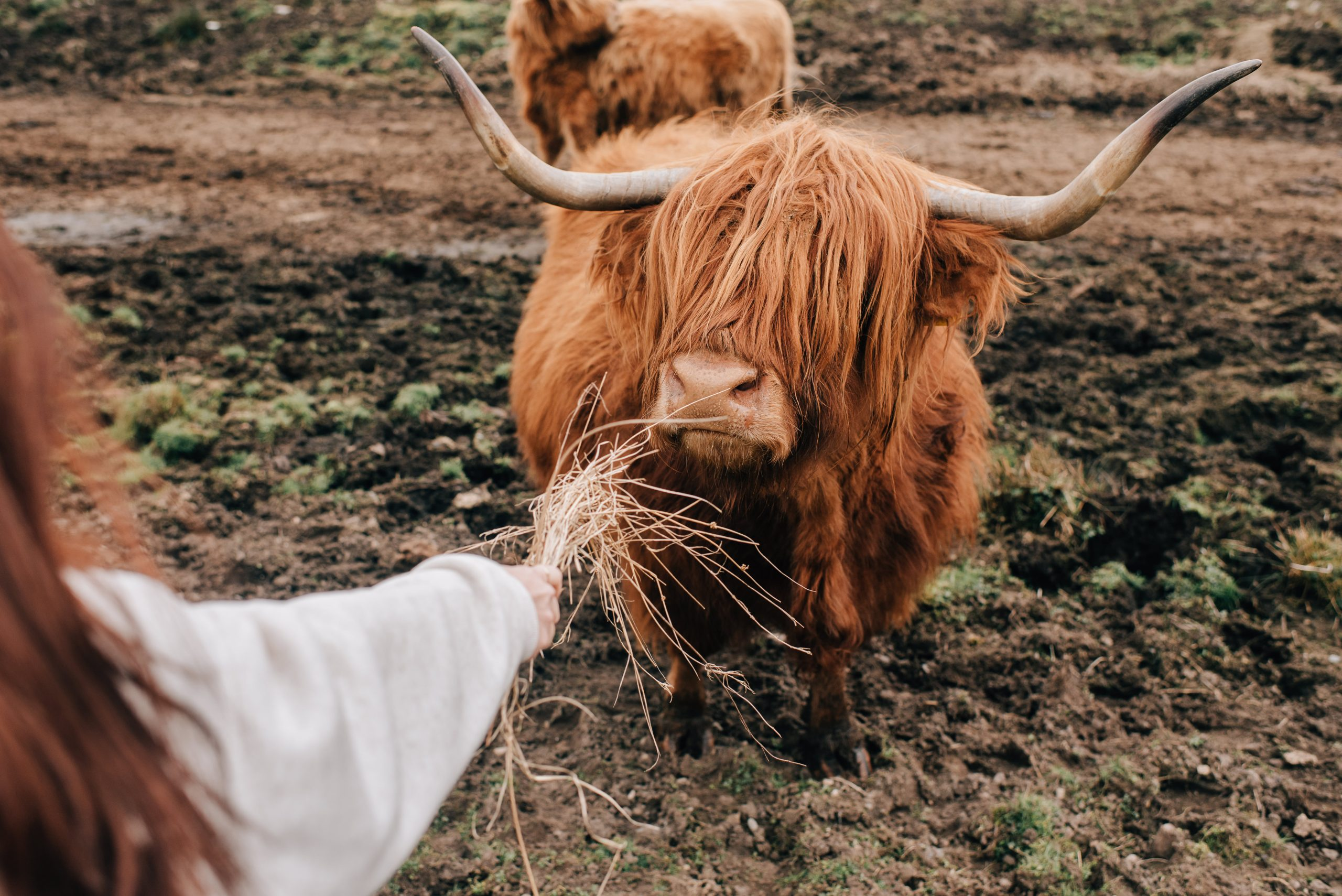 Woman feeding Highland cattle, Trossachs National Park, Canada